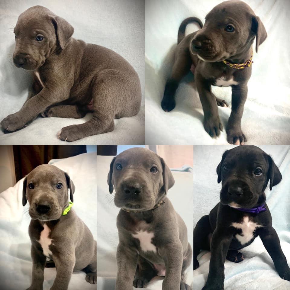 Great Dane Puppies - News Break Classifieds